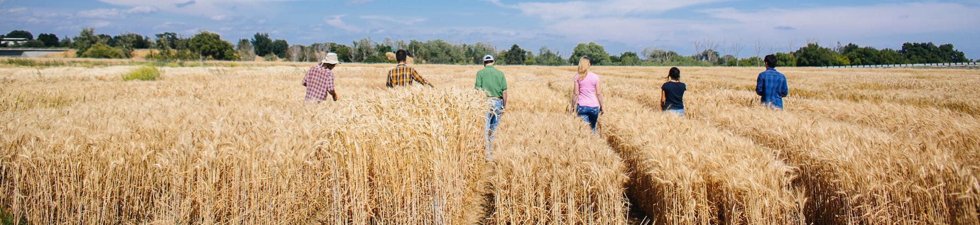 people walking in wheat field